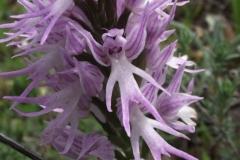 Orchis italica - flor del hombre desnudo (FILEminimizer)