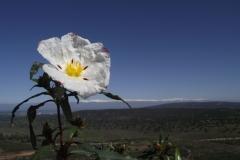 Cistus Ladanifer- jara pringosa